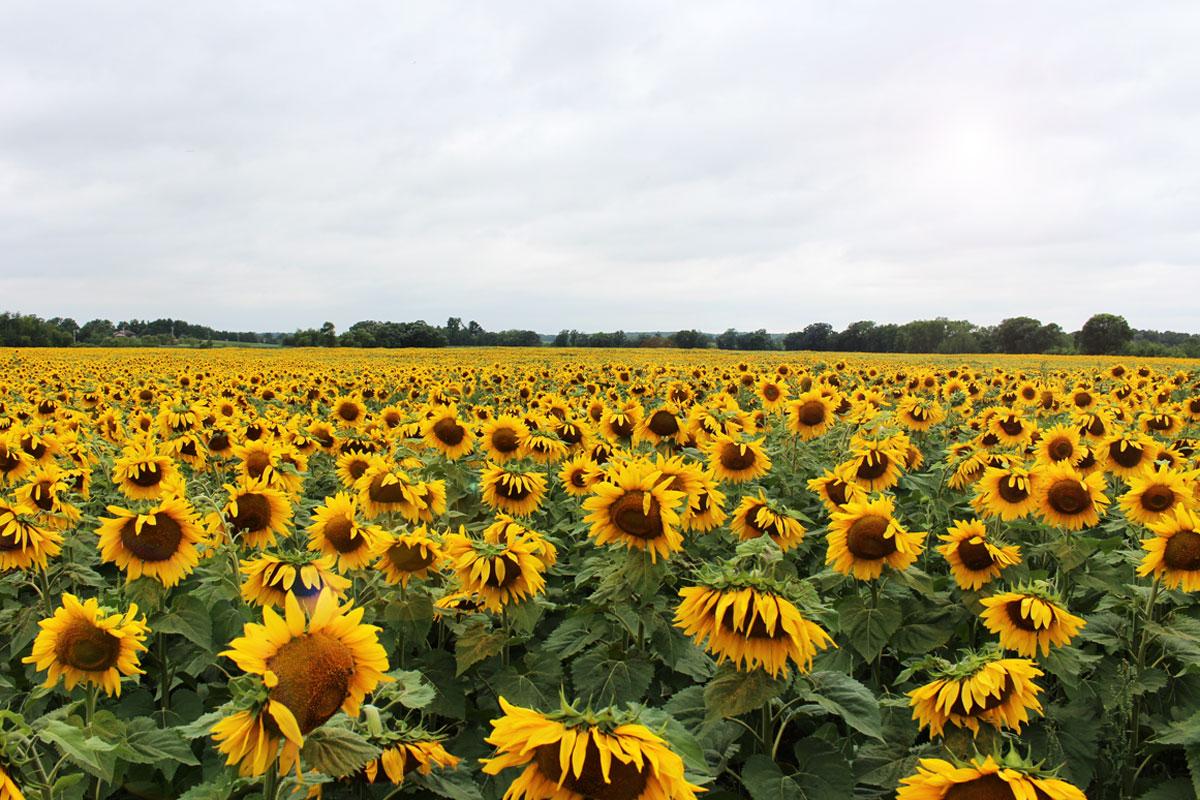 SunflowersForDays